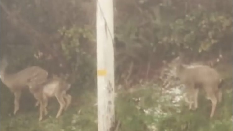 Frightened deer riding out the storm