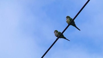 Wild parrots surviving in Northeast weather