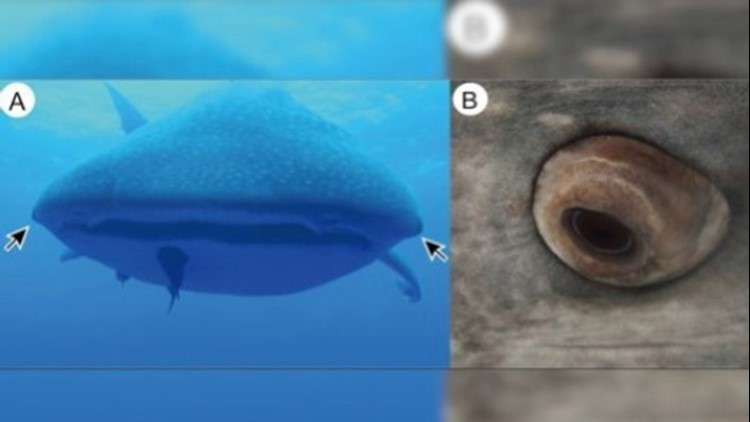 Eyeball Teeth? The World's Largest Shark Found to Have Just That