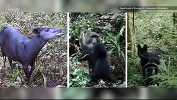 Rare Antelopes and Black Cats Caught on Film on Mount Kilimanjaro