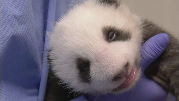 Watch These Newborn Panda Cubs Open Their Eyes For the First Time