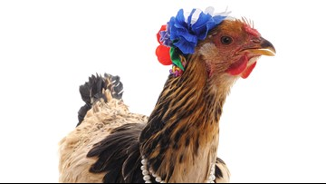 Yes, you can dress your chicken in a Halloween costume, CDC says