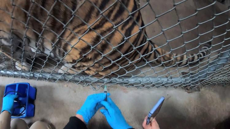 Oakland Zoo begins vaccinating animals