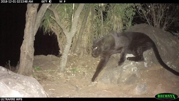 black leopard africa san diego zoo