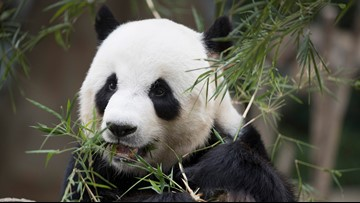 A new national park dedicated to giant pandas is opening in China