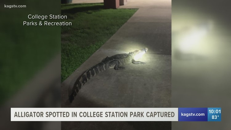 Alligator, nearly 7 feet long, captured in College Station