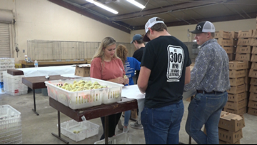 CHECK OUT THESE CHICKS! A&M students practice yearly tradition to prep chicks for show season