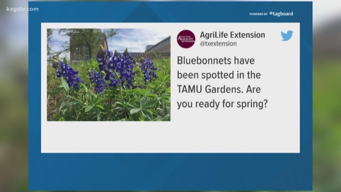 Bluebonnet sighting in A&M gardens