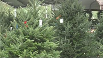 Christmas Tree farm embraces classic tradition