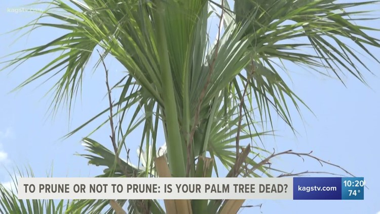 Is there hope for Brazos Valley palm trees damaged by February's winter storm?