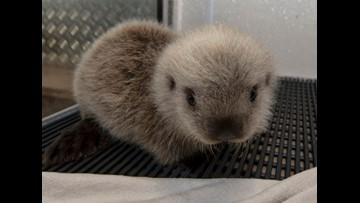 Future no longer hopeless for this hopelessly cute otter