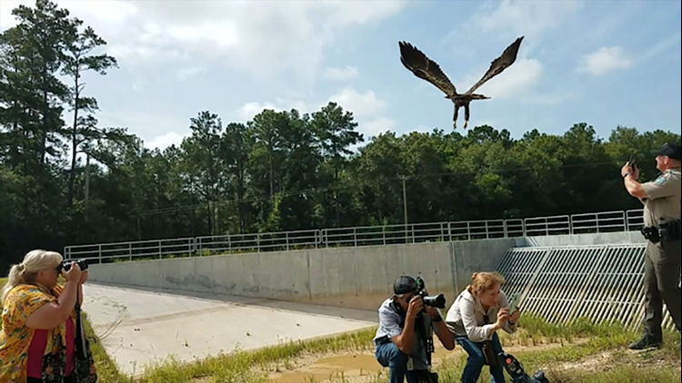 Back where he belongs | Bald eagle released back into wild after being nursed back to health at Wildlife Center of Texas