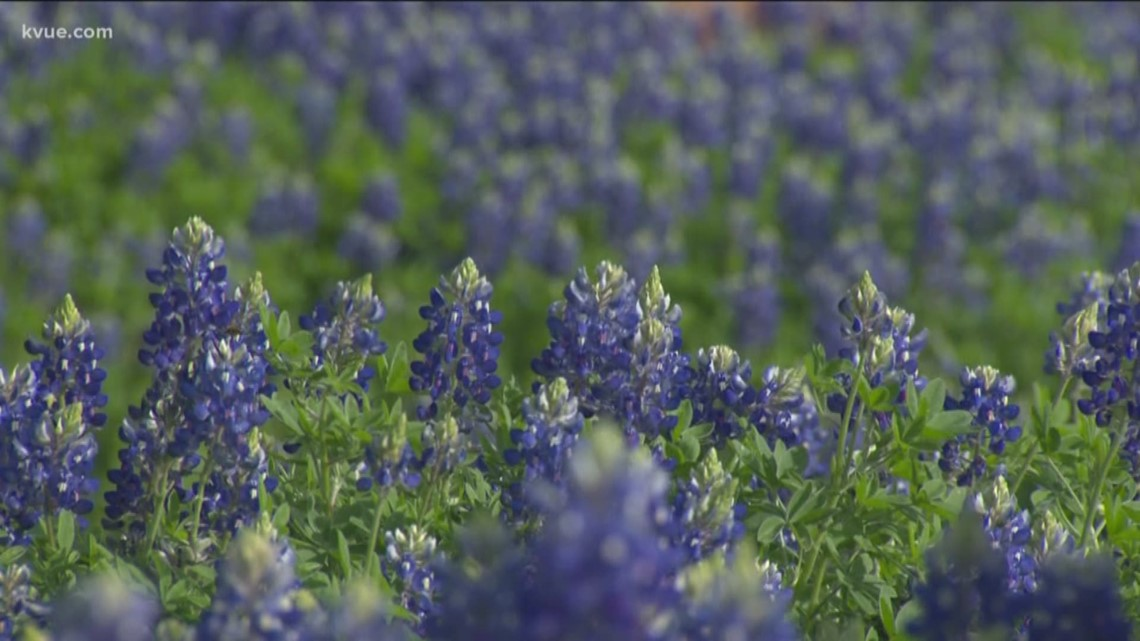 Verify: Is it illegal to pick or trample on bluebonnets?