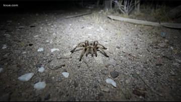 Watch your step: Fist-sized tarantulas spotted on Barton Creek Greenbelt