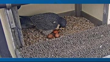 UT's resident peregrine falcon 'Tower Girl' welcomes third egg
