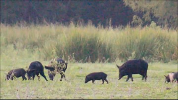 Gov. Abbott signs bill allowing killing of feral hogs without license