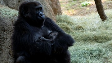 You can help name the new infant gorilla at Zoo Atlanta!